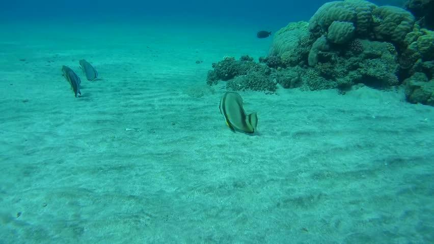 orbic batfish