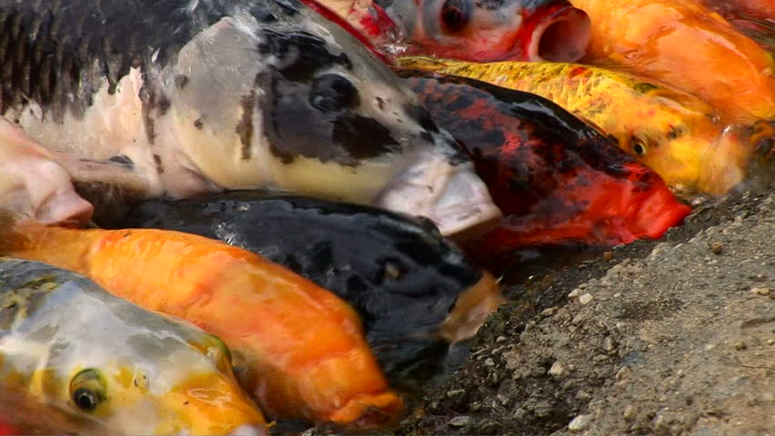 Koi feeding in pond stock footage video 1036834 shutterstock for Koi fish to pond ratio