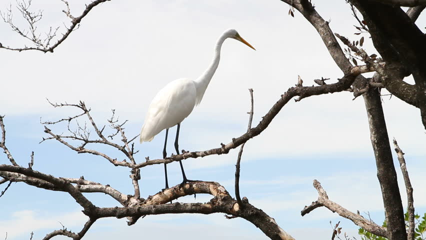 Great Egret roosts in a tree in the Florida Keys. - HD stock video clip