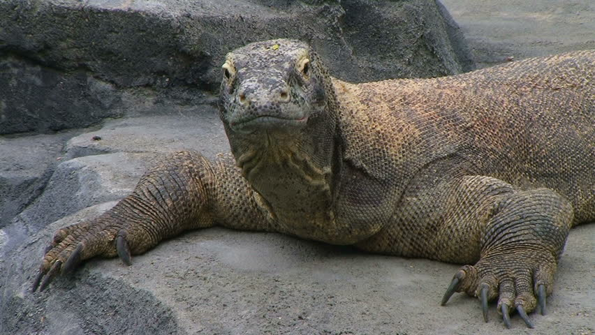 Komodo dragon, largest living species of lizard, yawns and sticks out tongue.