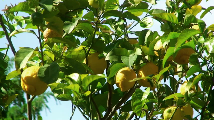 Detail close-up of a lemon tree (citrus citrus), full of yellow ripe lemons, gently shaken by the wind, in a garden, on a sunny day. Location: southern Italy.