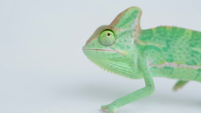 funny baby green chameleon on white background - HD stock video clip