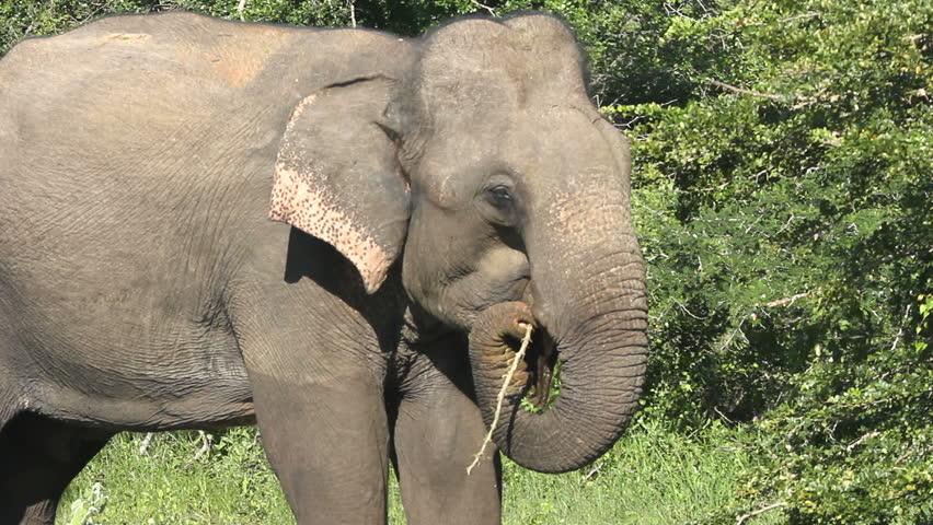 elephant - HD stock video clip