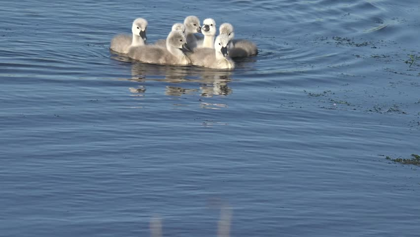 Swan ducklings Swimming in the lake - 4K stock footage clip