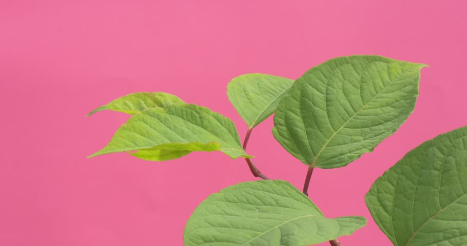 Wind in Green Leaves, Single Branch Closeup, wavering, leaves closeup,pink background,chromakey, Chroma Key, Alfa, studio, outdoor,summer, day