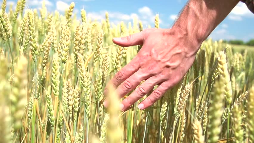 Man's hand running through wheat field. Male hand touching wheat ears closeup. Farmer. Harvest concept. Harvesting. Slow motion video footage 240 fps. Full HD 1080p