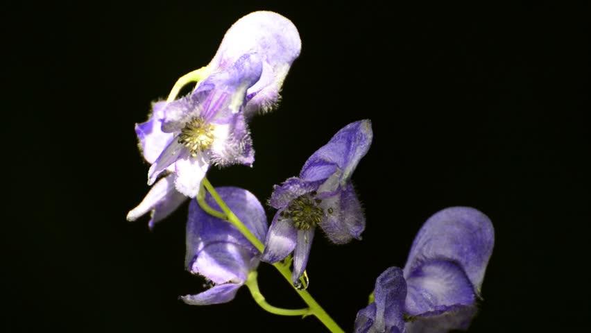 Aconitum Vulparia - Toxic Omen