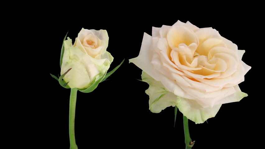 """Time-lapse of opening and dying """"Renate"""" rose 3d"""