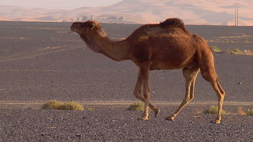 Camel walking - Slow-motion - HD stock video clip