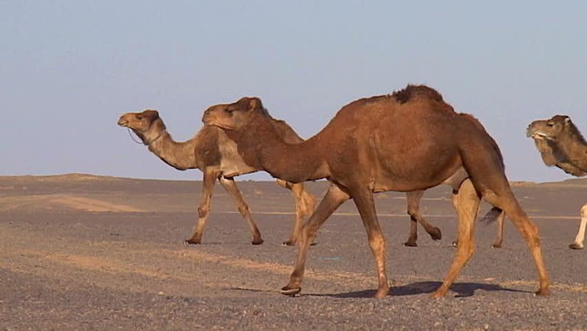 Camels walking - Slow-motion