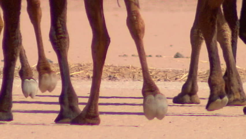 Camels walking - close-up on feet - Slow-motion - HD stock footage clip
