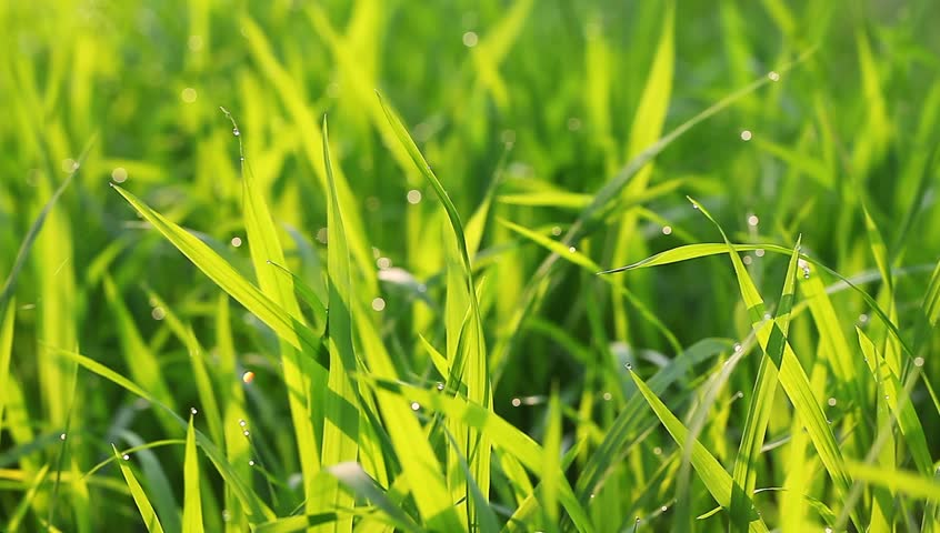 rice sapling leaves in the morning with sunshine and water dews macro shot in the field