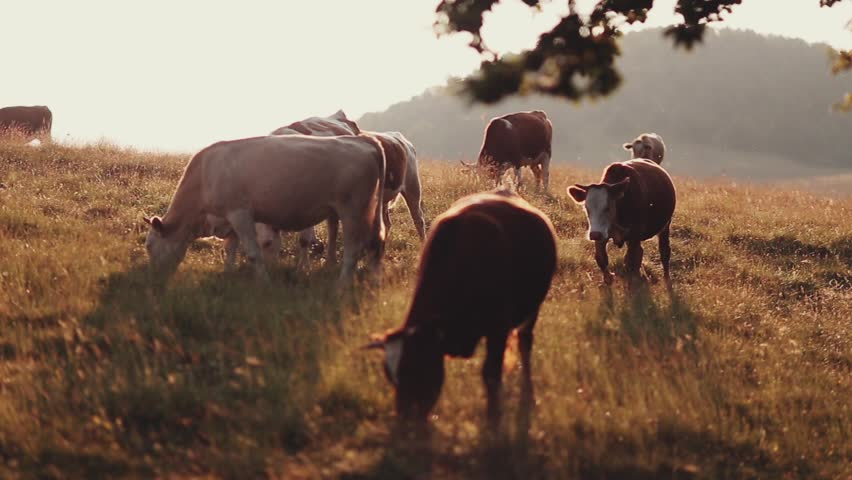 Livestock grazing during sunset in an idyllic valley.