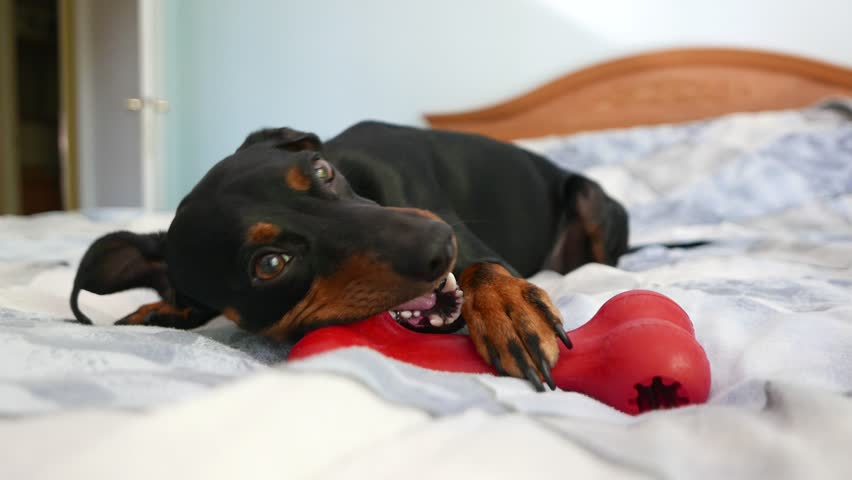 Header of pinscher