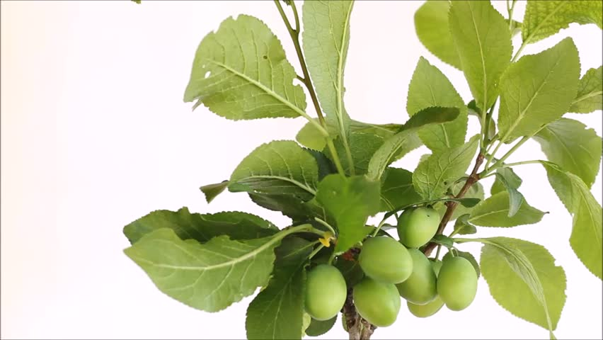 View of green plums on a branch and ants