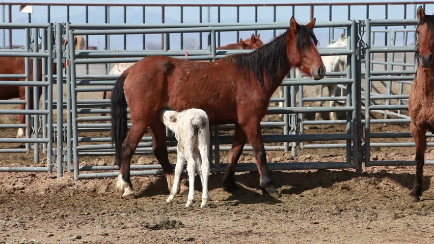 Wild mustang horses, mare feeding a young colt in corral after roundup in Utah and Arizona deserts. Trapped and transported by Federal and State Government to control numbers in dry desert areas. - HD stock video clip
