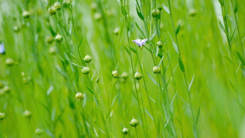 how to grow flax seeds