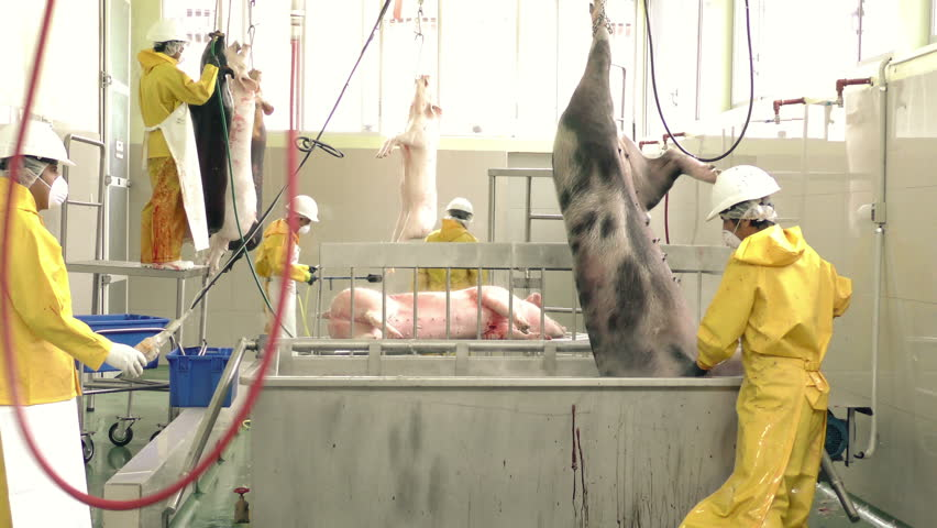 Slaughterhouse main operations related to food industry, team of butchers performing scalding and dehairing processes manually