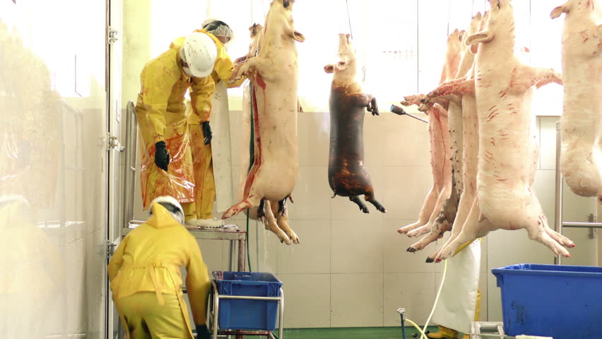 Singeing and evisceration are manually performed inside of a slaughterhouse by qualified workers, static shot