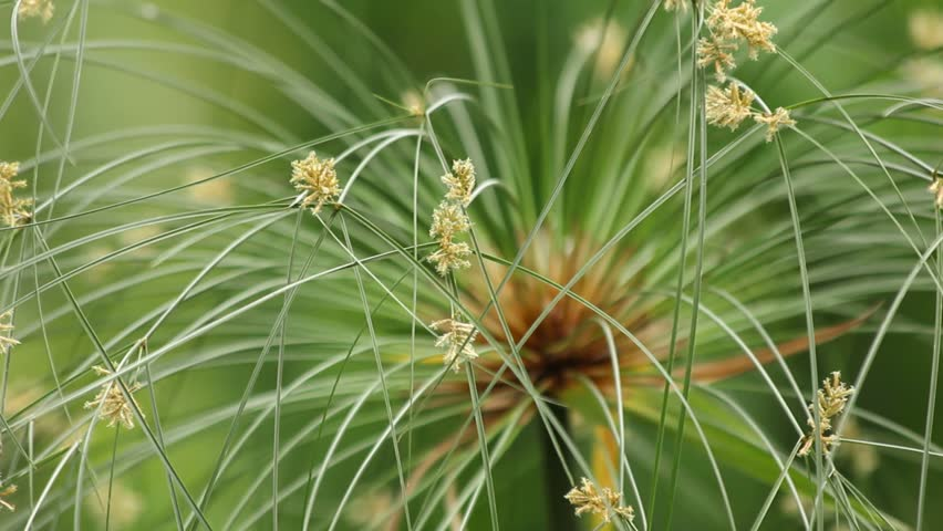 Papyrus Green Plant On Nature Green Background Stock ...