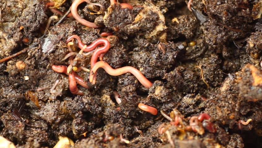 red wriggler worms feeding on organic material. Creating worm castings as part of the vermicomposting process - HD stock video clip