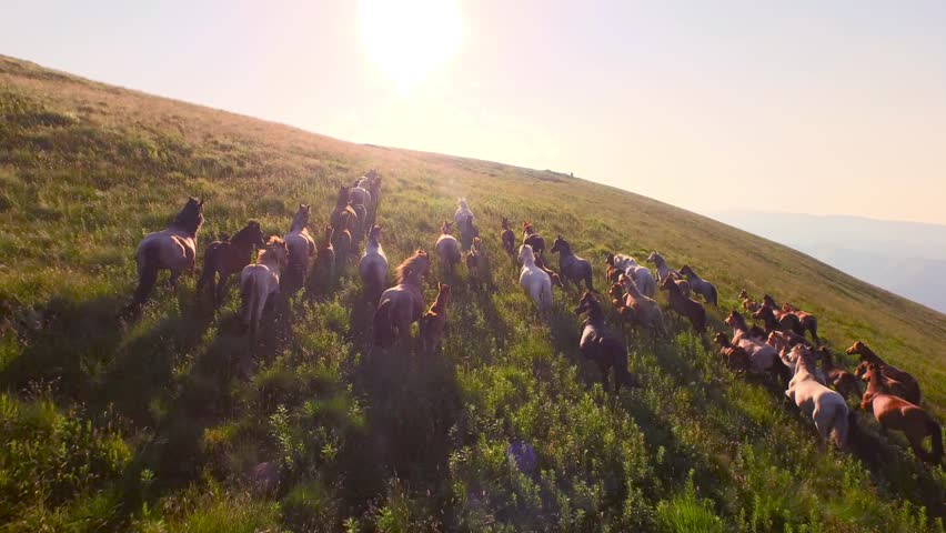 Wild Horses Herd Running On Meadow Aerial Fly Over Spring Mountains Nature Wild Life Beauty Animals Stallions Galloping Sunset Shining Adventure Freedom Ecology Concept