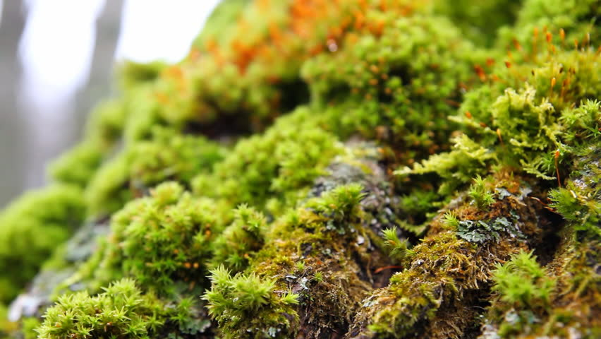 green moss, macro
