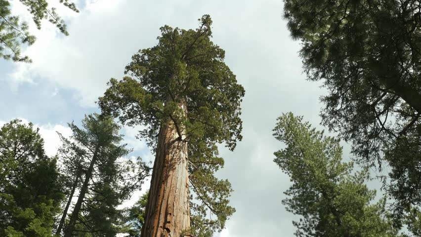 Giant Sequoia Tree in Sequoia National Park, California, Tilt down and Hold - 4K stock video clip