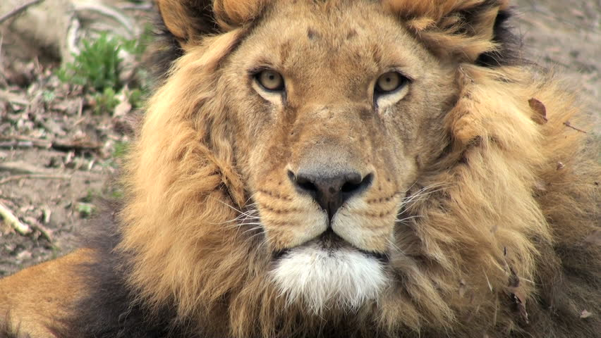 lion on a tree trunk resting - HD stock footage clip