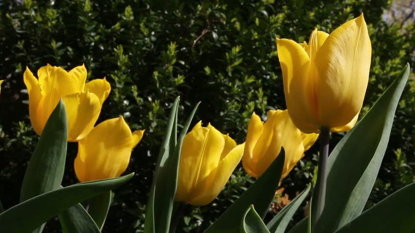 Single Yellow Tulip In Spring Garden - Closeup Stock ...