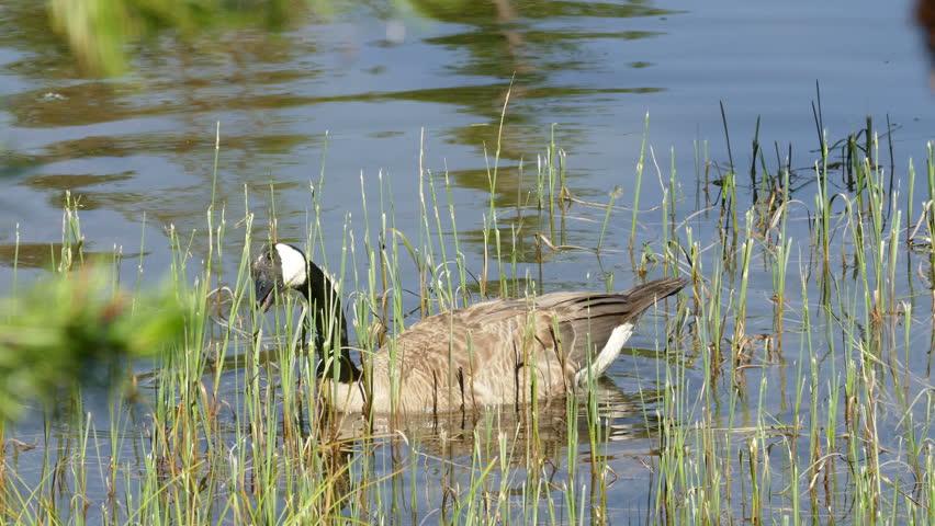 Canadian Goose bird eating grass.