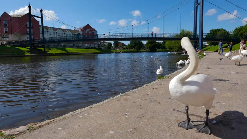 Exeter, Devon, UK – August 18th 2015: The waterfront on Exeter Quay, swans on the river Exe.  - 4K stock video clip