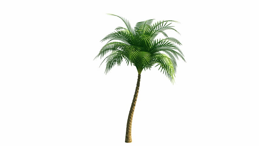 Growing palm tree with alpha channel