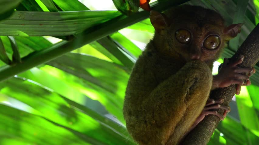 Small philippine tarsier with big eyes on the tree in Bohol island, Philippines