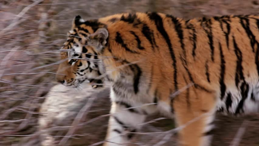 A Day at the Zoo Series. Gorgeous Bengal Tiger prowling mountain environment at the Zoo. Themes of nature, animals, endangered species, instinct, survival, leadership and power concepts. | Shutterstock HD Video #1141306