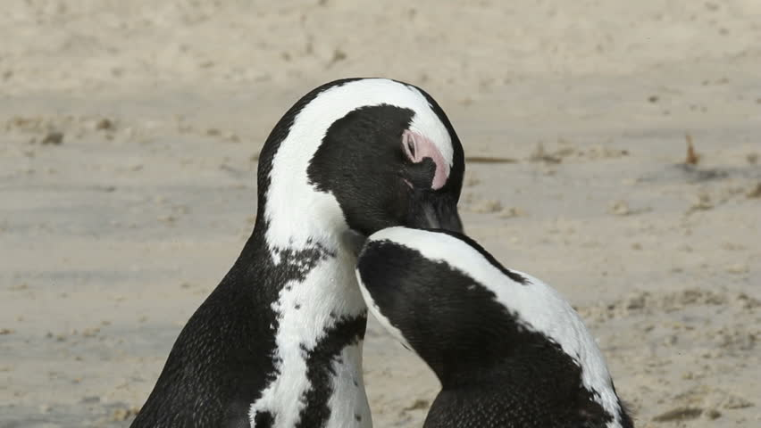 A pair of African penguins (Spheniscus demersus), Boulders beach, South Africa  - HD stock footage clip