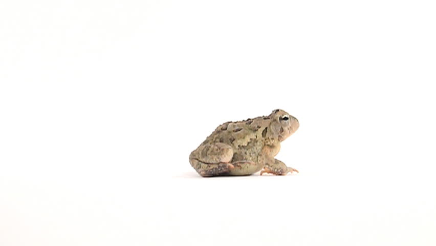 Slow motion clip of toad hopping on white background - HD stock footage clip