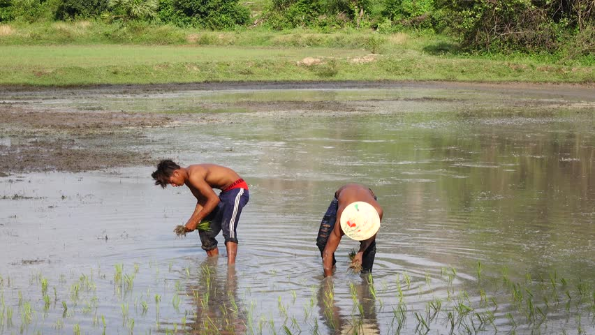 KAMPONG TRACH, CAMBODIA - SEP 26,2015: Farmer hard working on the rice field