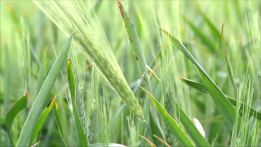 wheat, plant  - HD stock video clip