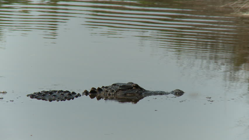 An alligator in a South Carolina swamp. - HD stock video clip
