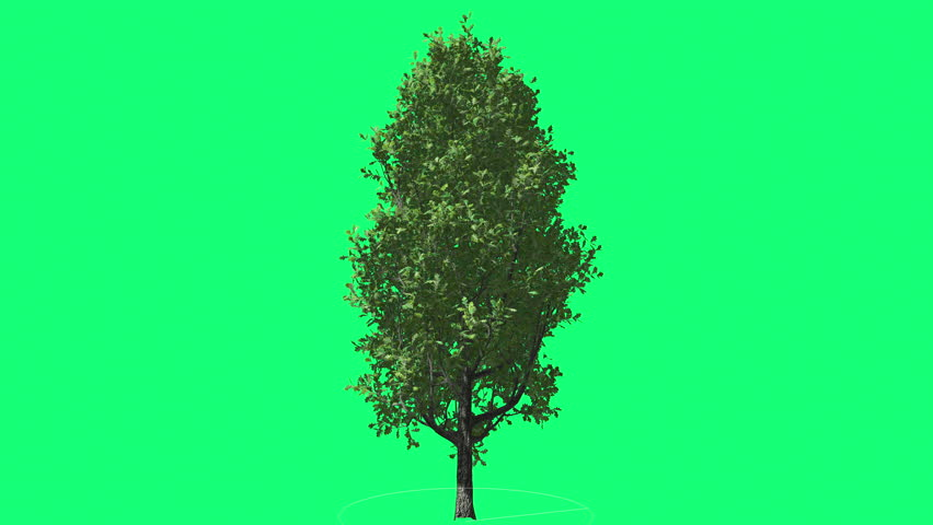 Cypress Oak Chromakey Green Tree Chroma Key Alfa Green Background Swaying at the Wind Sun Rays, Fluttering Branches, Leaves, breeze, outdoors, studio, sunny day, spring, summer - 4K stock footage clip