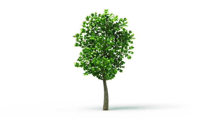Growing tree on white background, isolated object. Convenient for multimedia use. Symbol of growth, ecology, environmental care, prospects, family, evolution. HD. Alpha mask included - HD stock video clip