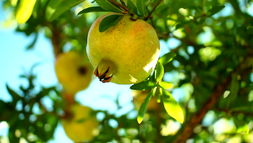 Pomegranate fruit on the branches of trees autumn stock footage video 8955415 shutterstock - Planting fruit trees in autumn ...