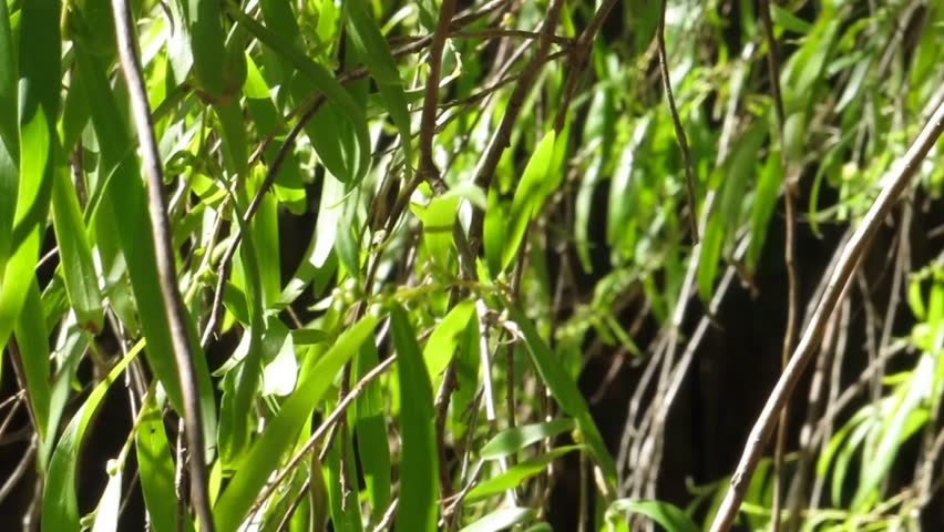 Willow leaves blowing in breeze - HD stock video clip