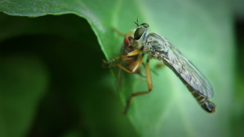 Bee on green leaf with fly
