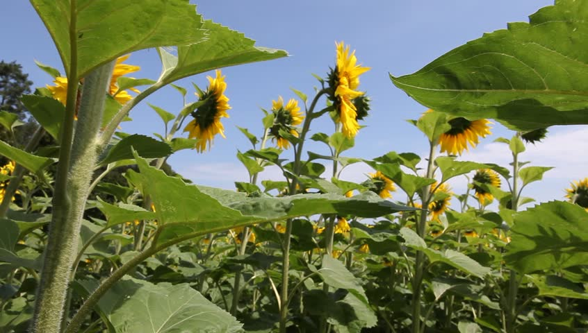 Sunflowers - HD stock video clip