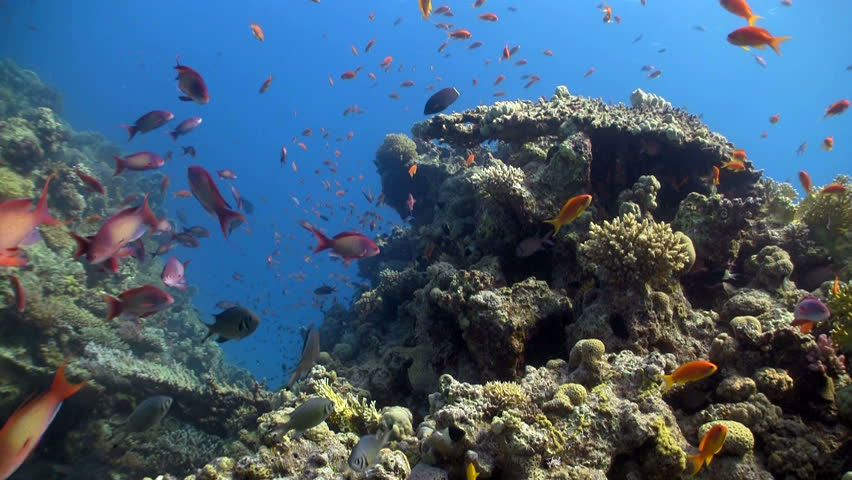 colorful fish on coral reef, Red sea - HD stock video clip