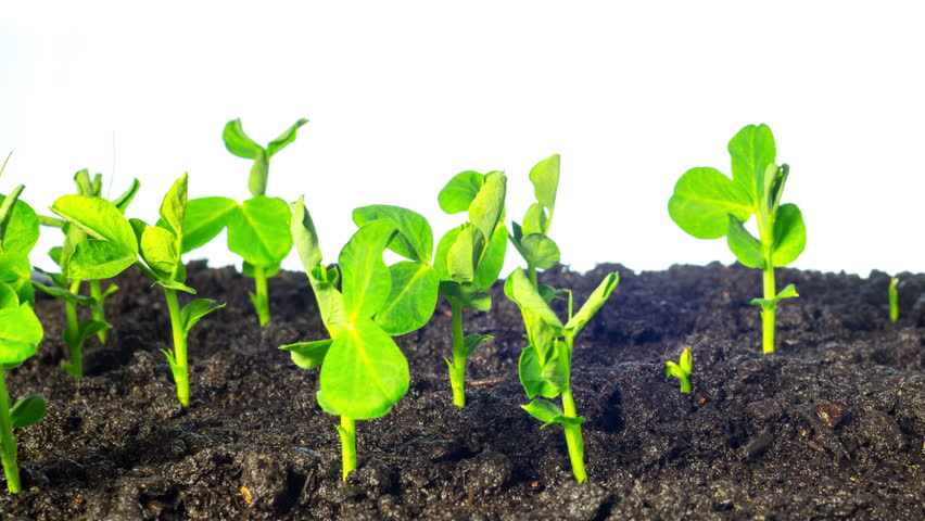 Pea sprouts grow, time-lapse