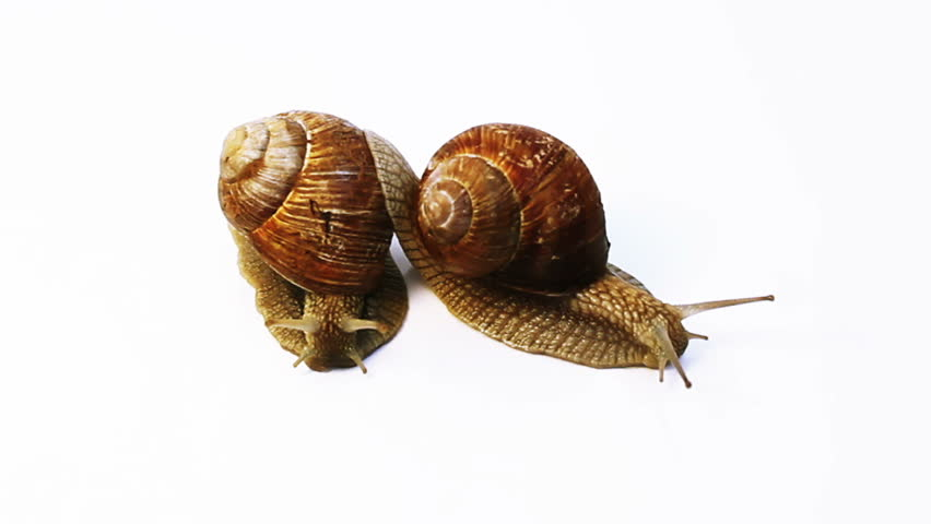 two snails crawl on a white background - 2 shots