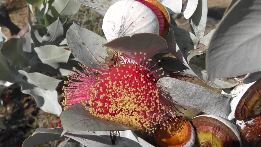 The spectacular flowers of Eucalyptus macrocarpa or Mottlecah, a mallee species, native to Western Australia.